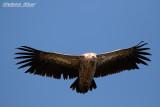 Himalayan Vulture.jpg