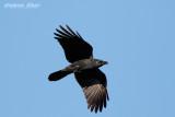Large Billed Crow.jpg