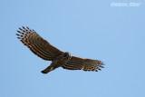 Mountain Hawk Eagle.jpg