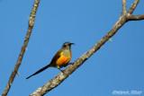 Mrs Gould's Sunbird.jpg