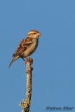Russet Sparrow.jpg