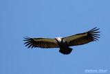 White Rumped Vulture.jpg
