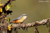 White Tailed Nuthatch.jpg