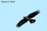 Crow & Raven