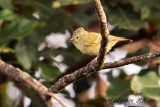 Yellow Browed Tit