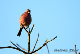 Pink Browed Rosefinch