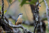 White Tailed Nuthatch