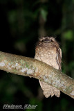 Dulit Frogmouth
