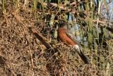 American Robin (Turdus migrators)