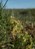 Vårkällört (Montia minor)
