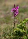 Tjärblomster (Lychnis viscaria)