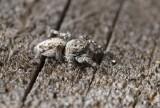 Laduhoppspindel (Sitticus terebratus)