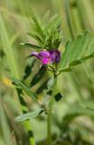 Sommarvicker (Vicia sativa)