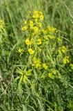 Smalbladig vargtörel (Euphorbia esula ssp. tommasiniana)