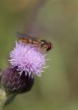 Flyttblomfluga (Episyrphus balteatus)