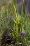 Ormtunga (Ophioglossum vulgatum)