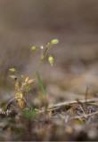Vårarv (Cerastium semidecandrum)