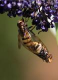 Bålgetingblomfluga (Volucella inanis)