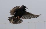European Starling (Sturnus vulgaris)