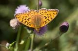 Skogspärlemorfjäril (Argynnis adippe)