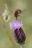 Bombylius minor