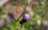 Slåttergräsfjäril (Maniola jurtina)