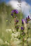 Ängstoppklocka (Campanula glomerata ssp. glomerata)