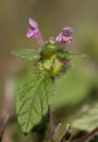 Pipdån (Galeopsis tetrahit)