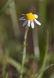 Baldersbrå (Tripleurospermum perforatum)