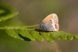 Pärlgräsfjäril (Coenonympha arcania)