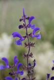 Ängssalvia (Salvia pratensis)
