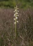 Grönvit nattviol (Platanthera chlorantha)
