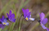 Styvmorsviol (Viola tricolor)