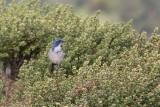 Western Scrub-Jay (Aphelocoma californica)