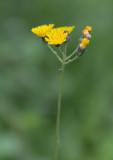 Klasefibbla (Crepis praemorsa)