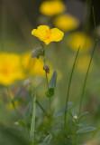 Ljus solvända (Helianthemum nummularium ssp. nummularium)