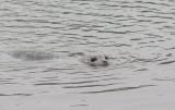 Harbor Seal (Phoca vitulina richardsi)