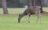 Black-tailed Deer (Odocoileus hemionus columbianus)