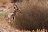 Nubisk stenbock (Capra nubiana)