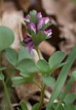 Sloknunneört (Corydalis pumila)