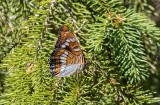 Aspfjäril (Limenitis populi)