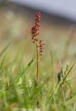 Lappsyra (Rumex acetosa ssp. lapponicus)
