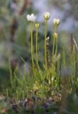 Slåtterblomma (Parnassia palustris)