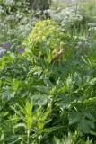 Fjällkvanne (Angelica archangelica ssp. archangelica)