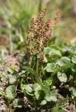 Fjällsyra (Oxyria digyna)