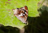 Sälgskimmerfjäril (Apatura iris)