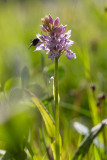 Fläcknycklar (Dactylorhiza maculata)