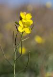 Sandsenap (Sandsenap (Diplotaxis tenuifolia))