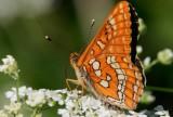 Asknätfjäril (Euphydryas maturna)