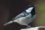 Paridae - Tits, chickadees